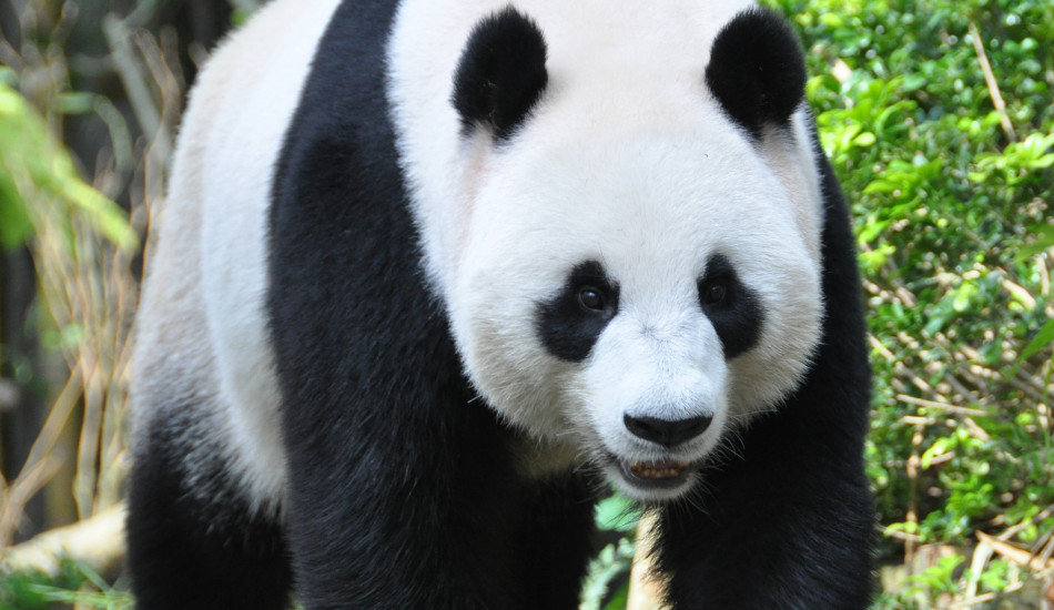 The IUCN reported the giant panda population has improved enough for its status to be downgraded from 'endangered' to 'vulnerable.' (Image: Michael Gwyther-Jones via flickr/CC BY 2.0)