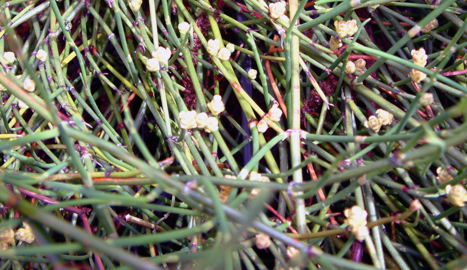 Why Do Chinese Call the Ephedra Herb the 'Ask-For-Trouble' Herb