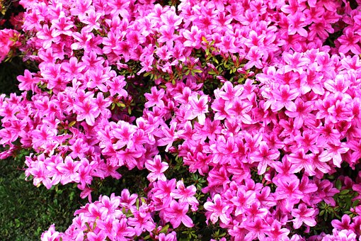 Azaleas are one of the 10 most famous flowers in China. (Image: markus via