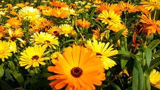 chrysanthemums: symbol of individuality