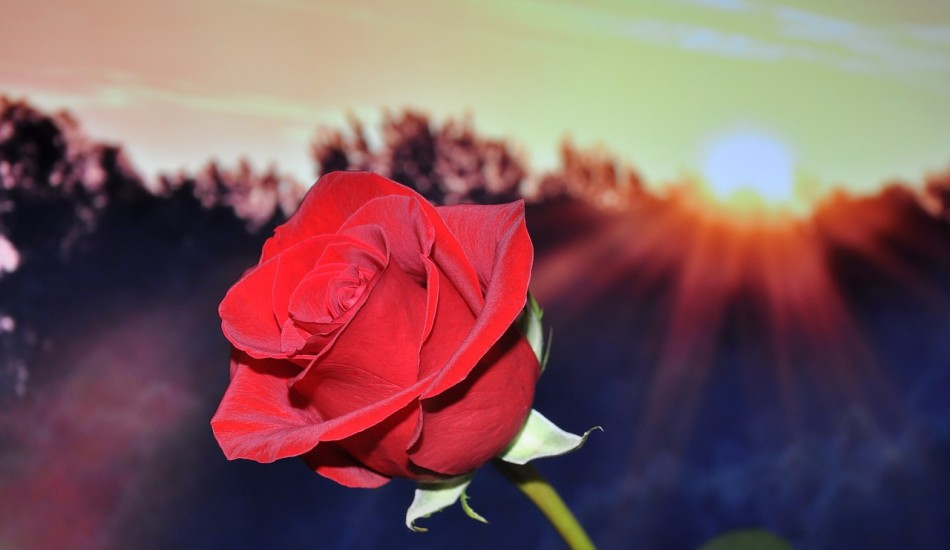 How a simple gift of a rose changed a young man's life. (Image:  pixabay  /  CC0 1.0)